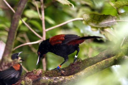 Tieke or Saddleback
