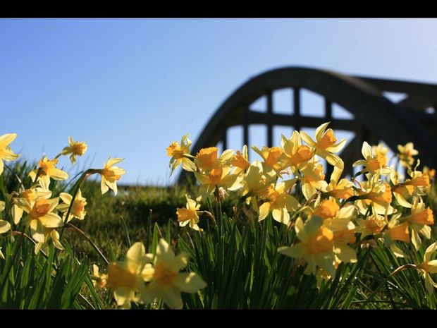 Richard Daffodils by the Clutha River bridge Balclutha