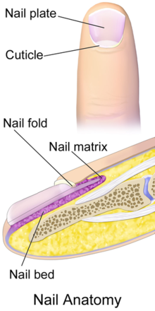 Finger Nail Anatomy CC BY Blausen
