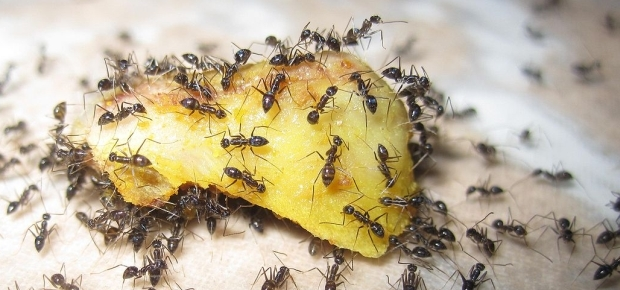 Ants eating food