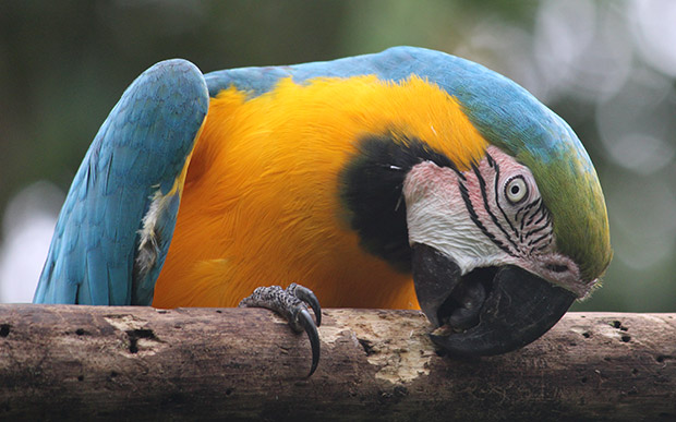 Malcolm the blue and gold macaw
