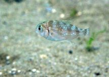Juvenile snapper, near artificial seagrass habitats