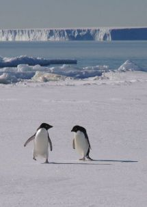 Adelie penguins returning from the sea