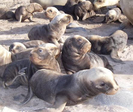 New Zealand sea lion pups