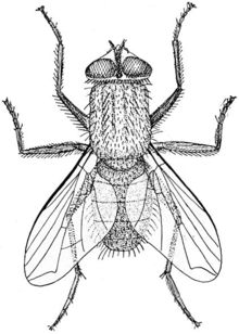 Housefly Musca illustration by Richard Hertwig PD