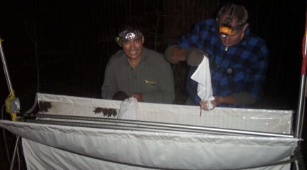 Department of Conservation staff removing bats from a harp trap
