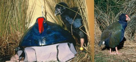 Takahe chick with fibreglass model 'mum' and adult takahe.