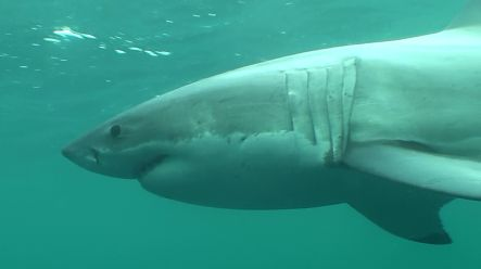 Male great white shark known as Barney
