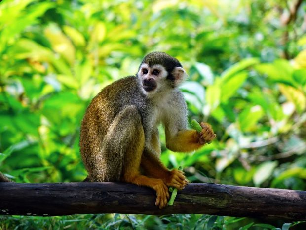 Monkey Child squirrel monkey in tree PD Pixabay