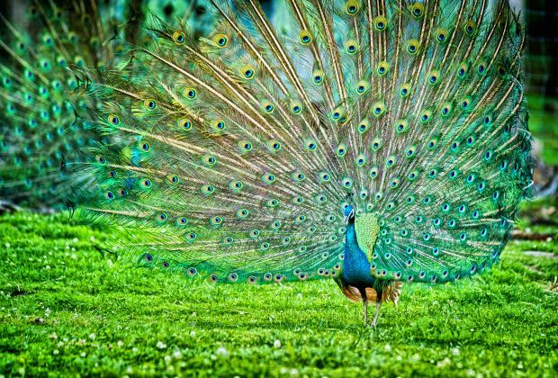 Peacock CC BY Nihal Jabin