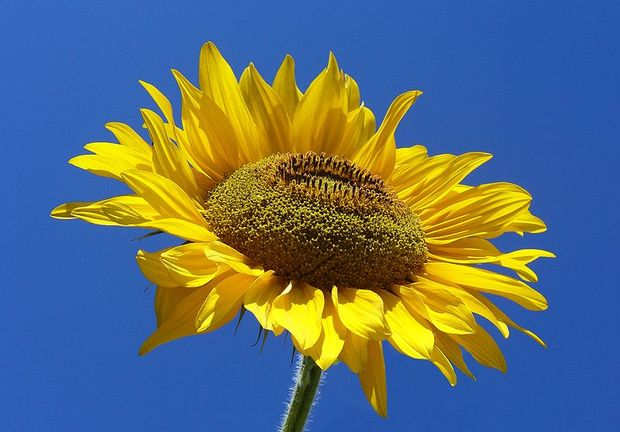 Sunflower from Silesia