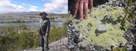 Chris Woolmore and black-fronted tern colony in upper Ohau River, and cushion plant