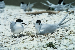 White Fronted Tern DOC CC