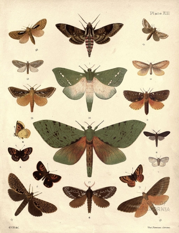 Native New Zealand Moths