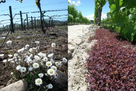 Anaphaloides bellioides and native bidibids planted under grape vines