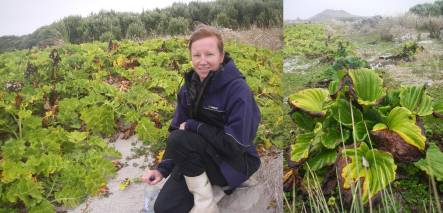 Bridget Bibb with sow thistle plantings, and Chatham Island forget-me-nots
