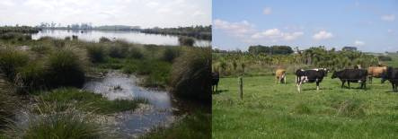 Lake Kaituna is a successful peat lake restoration surrounded by productive dairy farm