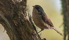 The brown creeper