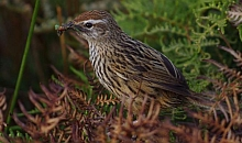 South Island fernbird