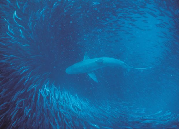 copper in sardine shoal