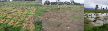 Expertimental planting plots - left, spot-sprayed only, and right, with topsoil removed