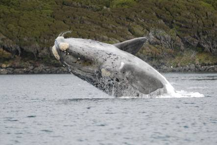 Southern right whale breach
