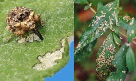 Buddleia leaf weevil and damage on buddleia leaves