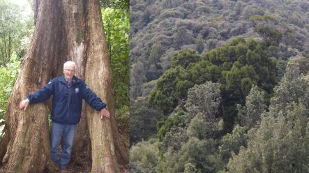 John Dawson and northern rata trees