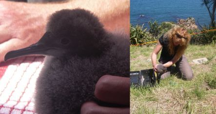 fluttering shearwater chick, and site of new colony