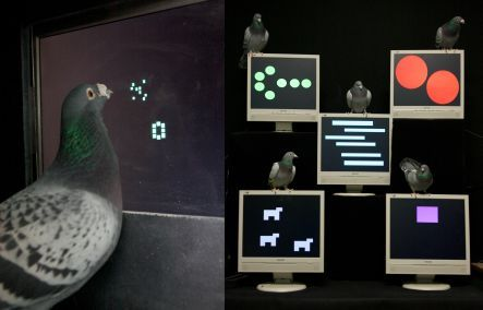 Smart pigeons using a touch screen to identify numerical values