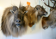 Tahr on the wall