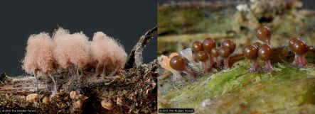 Slime moulds photogrpahed by Clive Shirley