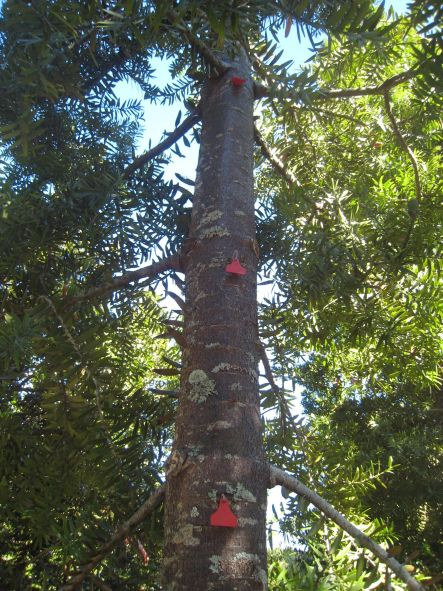 A Hard Nut to Crack May Markers showing Kauri growth small