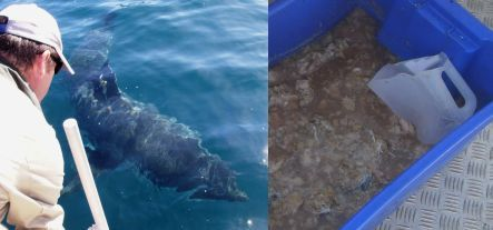 Photo identifying a great white shark, and minced up tuna berley to attract sharks to the boat