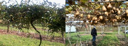 An evergreen kiwifruit species from Russia, and a new variety of red-fleshed kiwifruit