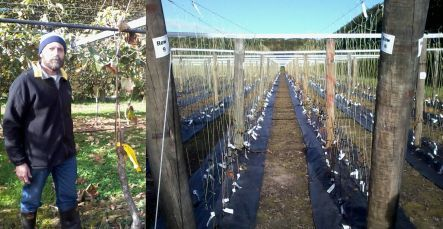 Luis Gea with a kiwifruit vine infected by Psa, and intensive trialling of new cultivar seedlings