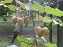 Kiwifruit on vine
