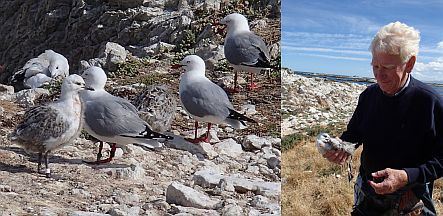 Jim Mills and red-billed gull colony