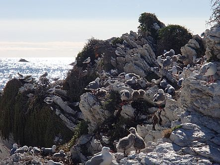 Red-billed gull colony at Kaikoura