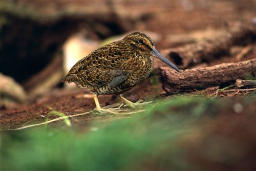 A Snares snipe photograph by Kennedy Warne