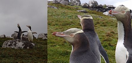 Yellow-eyed penguins on Enderby Island