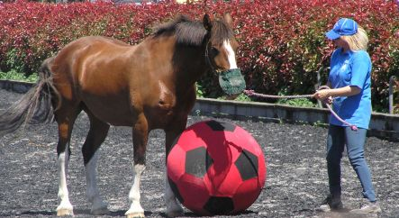 A horse playing hoofball.