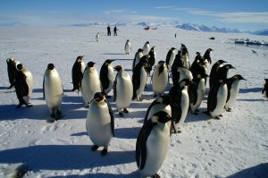 Biology Emperor penguins the edge of the frozen continent
