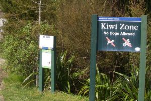 The Whakatane kiwi project looks after kiwi living in and around Whakatane s suburbs image A Ballance