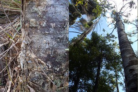 Signs of kauri dieback disease - gumosis at the base of the trunk and a dead canopy